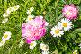 Белые ромашки и розовые пионы в саду, фото № 26560762, снято 18 июня 2017 г. (c) Дудакова / Фотобанк Лори