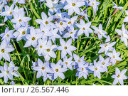 Spring Starflower 'Wisley Blue' / Ipheion uniflorum 'Wisley Blue'. Стоковое фото, фотограф Alain Kubacsi / age Fotostock / Фотобанк Лори