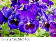Large-Flowered Pansy / Viola x wittrockiana Matrix F1 Deep Blue Blotch. Стоковое фото, фотограф Alain Kubacsi / age Fotostock / Фотобанк Лори