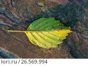 Купить «Россия, жёлтый опавший лист на фактуре камня», фото № 26569994, снято 26 января 2020 г. (c) glokaya_kuzdra / Фотобанк Лори
