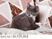 Купить «Двухмесячный серый котенок», фото № 26570054, снято 23 июня 2017 г. (c) Emelinna / Фотобанк Лори