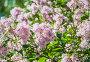 Пышный куст бледно розовой венгерской сирени (Syringa josikaea), фото № 26572090, снято 19 июня 2017 г. (c) Алёшина Оксана / Фотобанк Лори