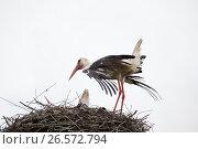 Купить «The adult white stork in a nest has straightened feathers on wings», фото № 26572794, снято 12 июня 2017 г. (c) Anatoly Timofeev / Фотобанк Лори