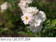 Garden roses. Стоковое фото, фотограф Антон Соваренко / Фотобанк Лори