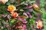 Colorful roses bush in summer garden, фото № 26580362, снято 12 июня 2017 г. (c) Евгений Сергеев / Фотобанк Лори