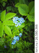 Купить «Forget me not flowers in spring garden», фото № 26580366, снято 28 мая 2017 г. (c) EugeneSergeev / Фотобанк Лори