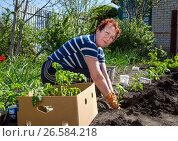 Купить «Пожилая женщина сажает помидорные кусты», эксклюзивное фото № 26584218, снято 4 мая 2017 г. (c) Вячеслав Палес / Фотобанк Лори