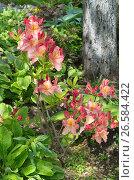 Купить «Рододендрон японский  (лат. Rhododendron japonicum) цветет в саду», эксклюзивное фото № 26584422, снято 17 июня 2017 г. (c) Елена Коромыслова / Фотобанк Лори