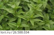 Купить «Fresh Mint Herb under rain», видеоролик № 26588034, снято 26 июня 2017 г. (c) Илья Шаматура / Фотобанк Лори