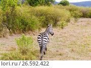 Купить «zebra grazing in savannah at africa», фото № 26592422, снято 17 февраля 2017 г. (c) Syda Productions / Фотобанк Лори