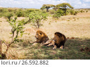Купить «male lions resting in savannah at africa», фото № 26592882, снято 18 февраля 2017 г. (c) Syda Productions / Фотобанк Лори