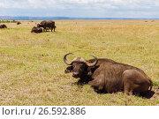 Купить «buffalo bulls grazing in savannah at africa», фото № 26592886, снято 18 февраля 2017 г. (c) Syda Productions / Фотобанк Лори