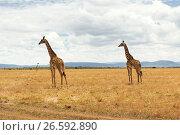Купить «group of giraffes in savannah at africa», фото № 26592890, снято 19 февраля 2017 г. (c) Syda Productions / Фотобанк Лори