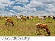 Купить «cows grazing in savannah at africa», фото № 26593318, снято 18 февраля 2017 г. (c) Syda Productions / Фотобанк Лори