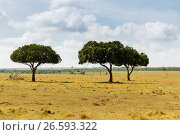 Купить «acacia trees in savannah at africa», фото № 26593322, снято 21 февраля 2017 г. (c) Syda Productions / Фотобанк Лори