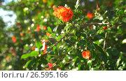 Купить «Bush with bright orange flowers in bloom on Cyprus», видеоролик № 26595166, снято 27 июня 2017 г. (c) Гурьянов Андрей / Фотобанк Лори