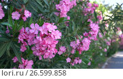 Купить «Bush with pink flowers in bloom on Cyprus», видеоролик № 26599858, снято 27 июня 2017 г. (c) Гурьянов Андрей / Фотобанк Лори
