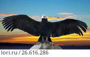 Andean condor. Стоковое фото, фотограф Яков Филимонов / Фотобанк Лори