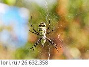 Купить «Полосатый паук (Argiope bruennichi, wasp spider) ест в своей сети», фото № 26632358, снято 15 августа 2015 г. (c) Истомина Елена / Фотобанк Лори