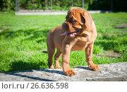 Купить «One puppy Dogue de Bordeaux», фото № 26636598, снято 2 июля 2017 г. (c) Наталия Ромашова / Фотобанк Лори