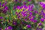 Ice-plant (Lampranthus multiradiatus) plant, фото № 26641814, снято 20 июля 2017 г. (c) Яков Филимонов / Фотобанк Лори