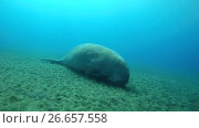 Купить «Dugon sleeps on a sandy bottom - Abu Dabab, Marsa Alam, Red Sea, Egypt, Africa», видеоролик № 26657558, снято 13 июля 2017 г. (c) Некрасов Андрей / Фотобанк Лори