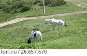 Купить «Two White horses eating grass in pasture», видеоролик № 26657670, снято 18 июня 2017 г. (c) Илья Насакин / Фотобанк Лори