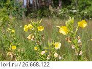 Купить «Ослинник двулетний (Oenothera biennis)», фото № 26668122, снято 10 июля 2017 г. (c) Ирина Яровая / Фотобанк Лори