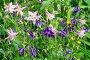 Аквилегия ( лат. Aquilegia) цветет в саду, фото № 26669470, снято 15 июля 2017 г. (c) Елена Коромыслова / Фотобанк Лори