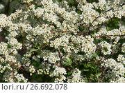 Купить «Blooming white spirea background», фото № 26692078, снято 5 мая 2017 г. (c) Короленко Елена / Фотобанк Лори