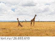 Купить «group of giraffes in savannah at africa», фото № 26693610, снято 19 февраля 2017 г. (c) Syda Productions / Фотобанк Лори