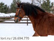 Купить «Horizontal portrait of a beautiful brown horse with black mane in winter», фото № 26694770, снято 14 января 2017 г. (c) Константин Лабунский / Фотобанк Лори