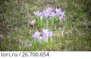 Купить «Early spring, crocus flowers against the background of a last year's grass», видеоролик № 26700654, снято 24 июля 2009 г. (c) Куликов Константин / Фотобанк Лори