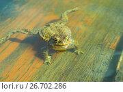 Купить «Ungry frog in water», фото № 26702286, снято 18 января 2019 г. (c) Васильева Юлия / Фотобанк Лори