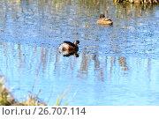 Купить «Поганка черношейная. Black-necked Grebe (Podiceps nigricollis, Podiceps caspicus). », фото № 26707114, снято 23 апреля 2017 г. (c) Василий Вишневский / Фотобанк Лори