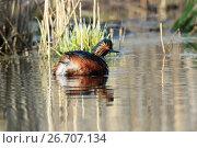 Купить «Поганка черношейная. Black-necked Grebe (Podiceps nigricollis, Podiceps caspicus). », фото № 26707134, снято 23 апреля 2017 г. (c) Василий Вишневский / Фотобанк Лори