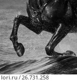 Купить «Ноги черной лошади, скачущей по воде. Черно-белая фотография.», фото № 26731258, снято 2 мая 2017 г. (c) Абрамова Ксения / Фотобанк Лори