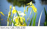 Купить «Iris pseudacorus yellow flag, yellow iris, water flag, lever is a species in the genus Iris, of the family Iridaceae», видеоролик № 26735230, снято 5 июня 2009 г. (c) Куликов Константин / Фотобанк Лори