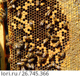 Купить «Honey bees on wax combs, outdoors», фото № 26745366, снято 7 августа 2017 г. (c) Володина Ольга / Фотобанк Лори