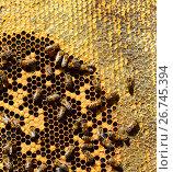 Купить «Honey bees on wax combs, outdoors», фото № 26745394, снято 7 августа 2017 г. (c) Володина Ольга / Фотобанк Лори