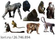 Купить «set of primates», фото № 26746894, снято 23 апреля 2019 г. (c) Яков Филимонов / Фотобанк Лори