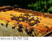 Купить «The Honey bees on wax combs, outdoors», фото № 26747122, снято 7 августа 2017 г. (c) Володина Ольга / Фотобанк Лори