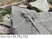 Купить «Кавказская агама (лат. Laudakia caucasia) — ящерица из рода азиатские горные агамы лежит на камне в горах Грузии», эксклюзивное фото № 26752722, снято 13 июля 2017 г. (c) Алексей Гусев / Фотобанк Лори