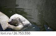 Купить «Polar bear (Ursus maritimus)», видеоролик № 26753550, снято 6 июня 2015 г. (c) BestPhotoStudio / Фотобанк Лори