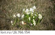 Купить «Early spring, crocus flowers against the background of a last year's grass», видеоролик № 26766154, снято 10 июня 2009 г. (c) Куликов Константин / Фотобанк Лори
