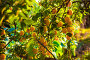 Желтая алыча на ветках, фото № 26768946, снято 19 августа 2017 г. (c) Марина Володько / Фотобанк Лори