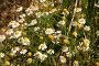 Нивяник обыкновенный. Ромашка садовая, фото № 26769014, снято 20 августа 2017 г. (c) Марина Володько / Фотобанк Лори