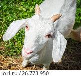 Купить «Козлик», фото № 26773950, снято 21 июля 2017 г. (c) Baturina Yuliya / Фотобанк Лори