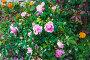 Куст красивых нежно-розовых роз, фото № 26774018, снято 22 июля 2017 г. (c) Алёшина Оксана / Фотобанк Лори