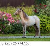 Купить «Молодой жеребец породы Американская миниатюрная лошадь в цветущем саду», фото № 26774166, снято 18 августа 2017 г. (c) Абрамова Ксения / Фотобанк Лори